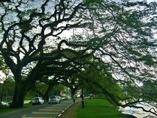 Old Rain Tree in Taiping Perak